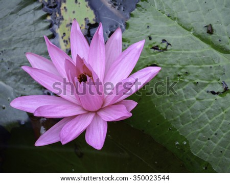 The beautiful pink florescent lotus up on it's leaf.