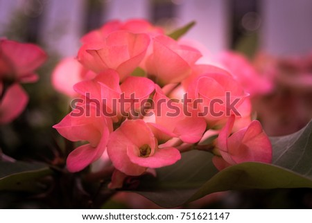 The beautiful pink flower,crown of thorns flower in the soft image,look fresh.