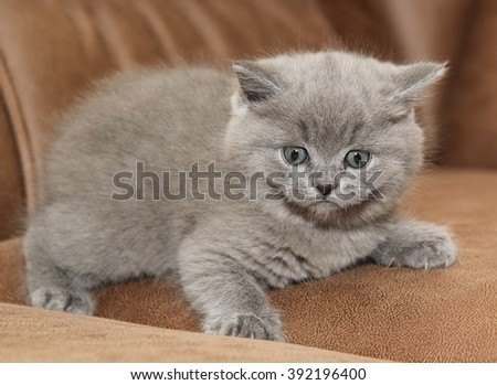 The Beautiful plush gray British kitten on the couch