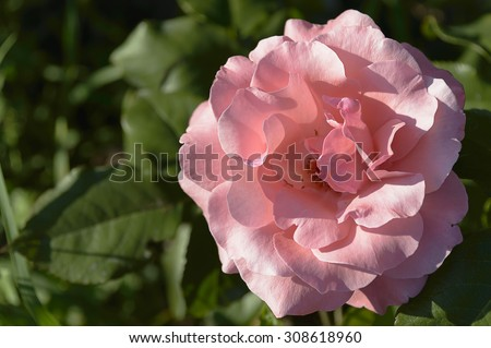 The beautiful rose blooms - stock photo