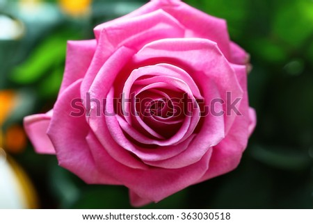 The beautiful rose blooms. Beauty Rose flower. - stock photo