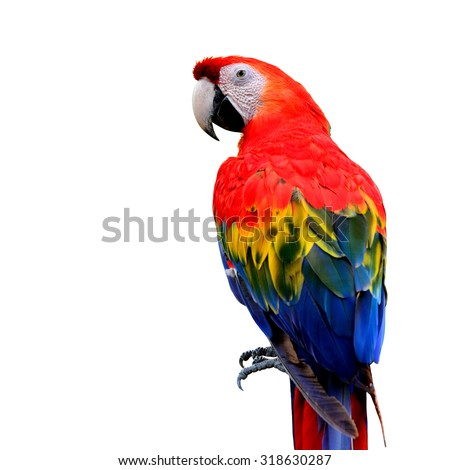The Beautiful Scarlet Maraw (Ara macao) isolated on white background, exotic red bird