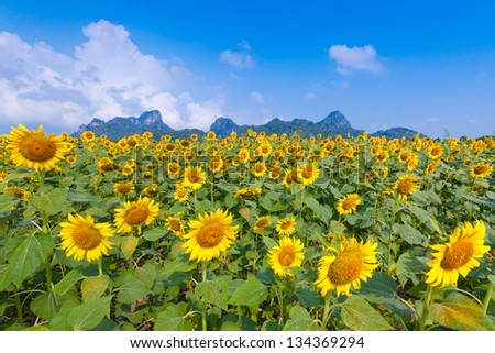 The beautiful sunflower at Lopburi, Thailand.