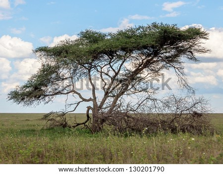 The beautiful trees in Serengeti National Park, Tanzania - stock photo