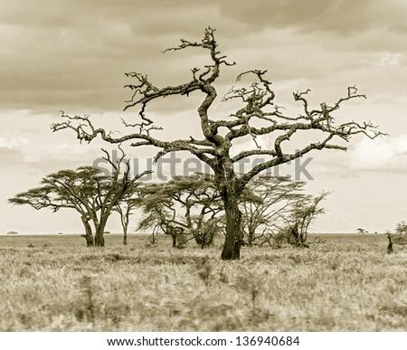 The beautiful trees in Serengeti National Park -Tanzania, Africa (stylized retro) - stock photo