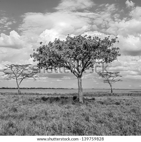 The beautiful trees in Serengeti National Park -Tanzania, East Africa (black and white) - stock photo