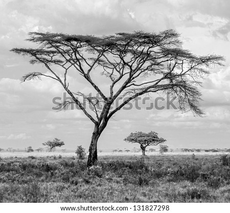 The beautiful trees in Serengeti National Park -Tanzania, Eastern Africa (black and white) - stock photo