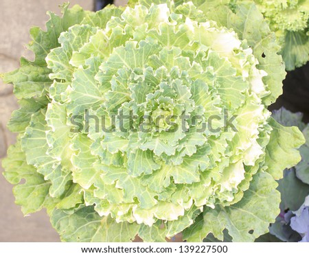 The beautiful white and green cabbage flower - stock photo