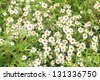 The beautiful white Narrowleaf Zinnia or Classic Zinnia flowers, texture background. - stock photo