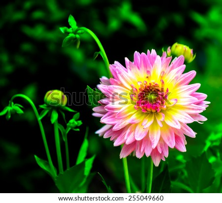 The beauty of Dahlia flowers on soft background - stock photo