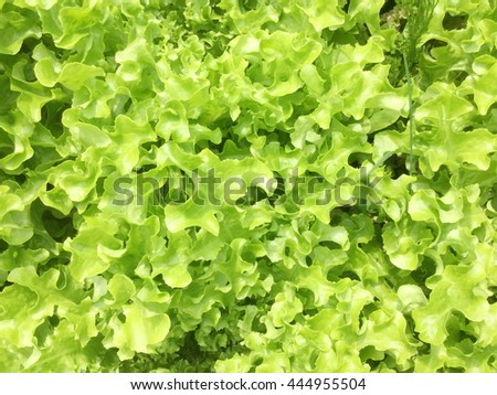 The beds of lettuce salad in garden