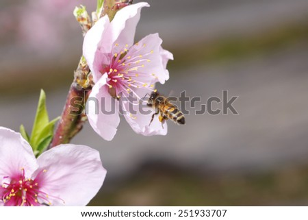 The bee collect nectar on the peach blossom