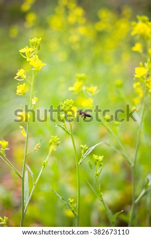 The bee collects honey on a rape flower mustard - stock photo