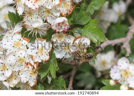 The bee gathers honey at cherry blossoms - stock photo
