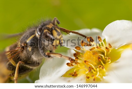 The bee on a flower Potentilla collects honey.Close-up