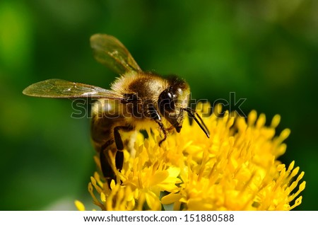 The bee on the Goldenrod flower