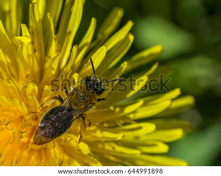 The bee pollinates a beautiful dandelion.