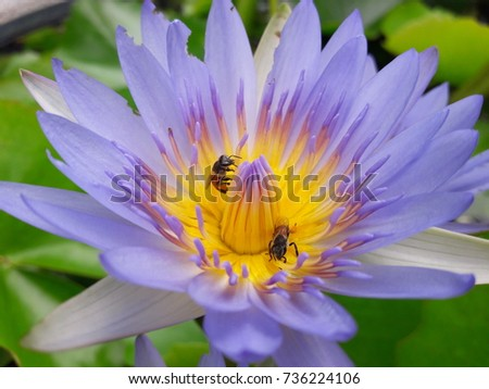 Bees eating lotus flowers stock photo royalty free 736224106 the bees eating the lotus flowers mightylinksfo