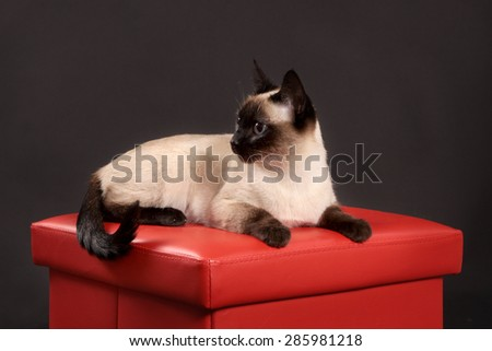 The beige cat with dark brown paws, a muzzle and a tail lies on a red padded stool. - stock photo