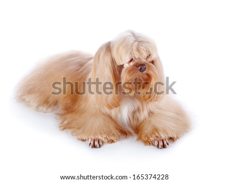The beige decorative doggie. Decorative dog. Breed doggie Petersburg orchid.