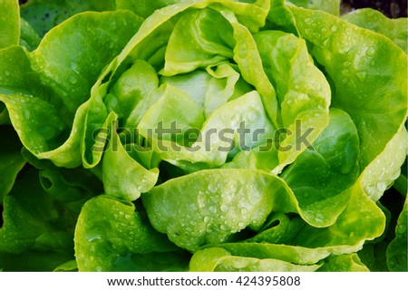 The Benefits of Growing Your Own Butter Lettuce.