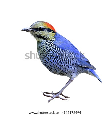 The best shot of Blue Pitta with nice composition, Hydrornis cyanea, bird on isolated white background - stock photo