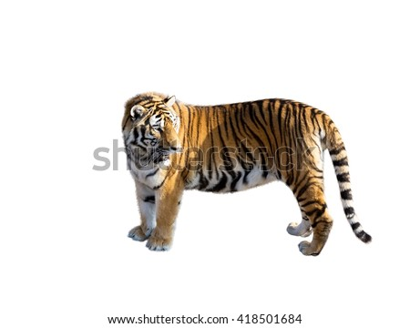 the big Amur tiger on a white background - stock photo