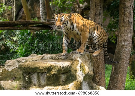 The big Bengal tiger looking to spectator in the zoo.