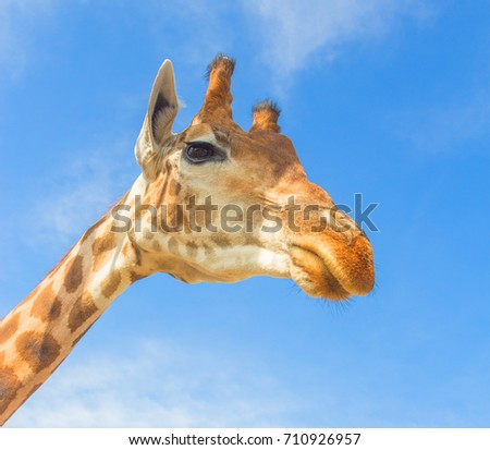 The big giraffe at the zoo. Animals in captivity