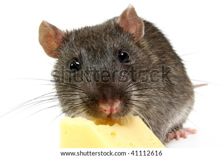 The big grey rat on a white background with a cheese slice
