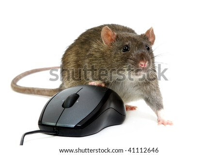 The big grey rat on the computer mouse
