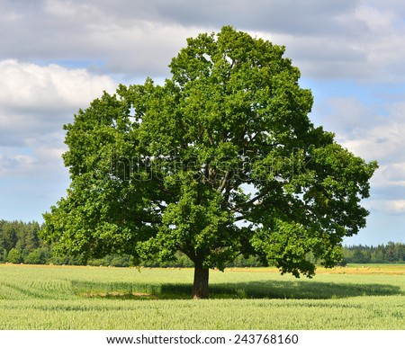 The big lonely oak tree on a green meadow.  - stock photo