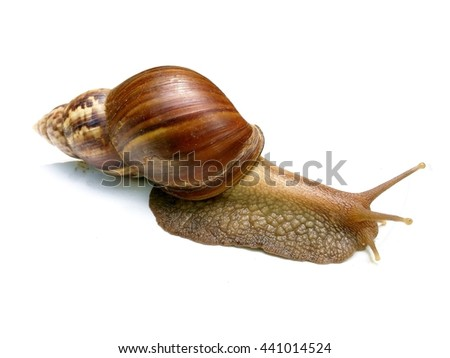 The big snail on white background,Gastropoda