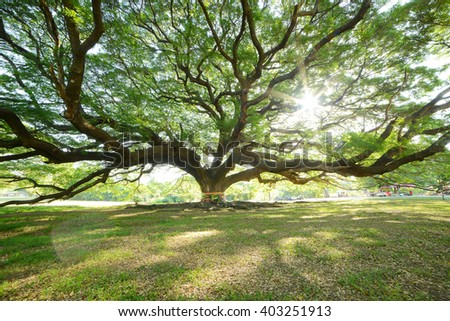 the big tree in thailand with branch