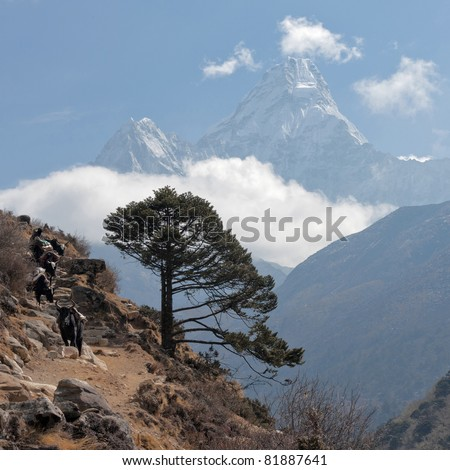 The big tree on a Everest track against snowy peak Ama Dablam - stock photo