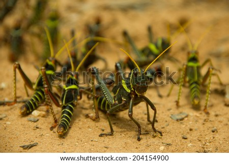 The bigger grasshopper protecting the smallest ones - stock photo