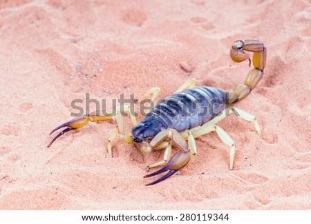 The biggest scorpion, living in North America - a desert hairy scorpion (Hadrurus arizonensis) on the sand - stock photo