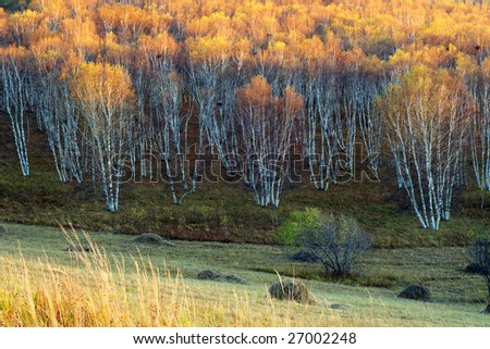 the birch treetop becomes golden when sunset - stock photo