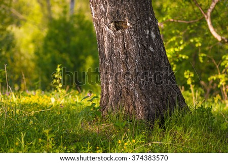 The birch trunk in green forest - stock photo