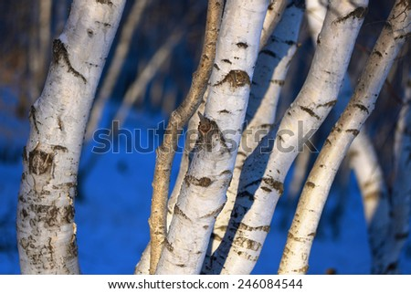 the birch wood in snow in the winter - stock photo