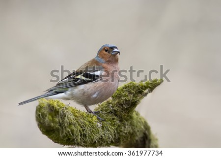 the bird is a male Chaffinch sings on the tree in spring - stock photo
