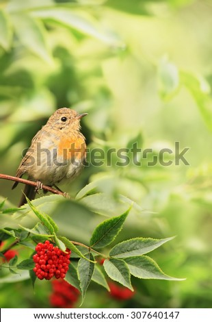 The bird is a Robin (Erithacus rubecula) sitting on a branch of elderberry (Sambucus). 	The end of summer, beginning of autumn.