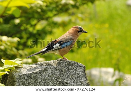 The bird - Jay - stock photo