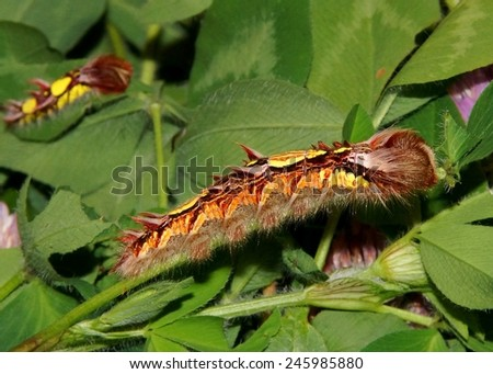 The bizarre Morpho Butterfly caterpillar, Morpho peleides, eating clover (Trifolium) - Fifth instar with 4th instar caterpillar in background - stock photo