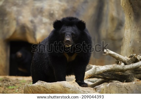 The black bear in the wild