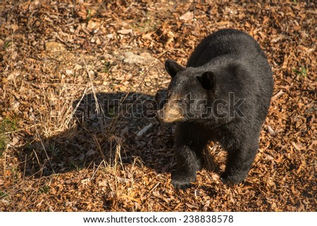 The black bear makes its way through the mountains of Western North Carolina. - stock photo