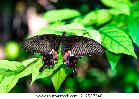 The black butterfly on green leaf