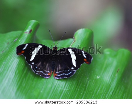 The black butterfly with white stripes sittIng on green leave