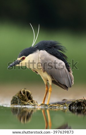 The black-crowned night heron (Nycticorax nycticorax) watching for fish in shallow water