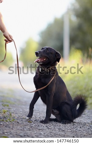 The black dog sits on the road. Not purebred dog. Doggie on walk. The large not purebred mongrel. - stock photo